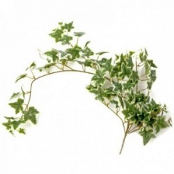 Ivy Bush - Variegated (85cm Long)