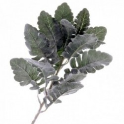 Dusty Miller - Green/Grey (46cm long)