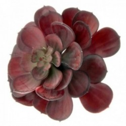 Large Echeveria Succulent - Red (15cm diameter, 18cm Long)