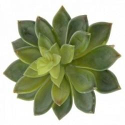 Stonecrop Succulent - Green (10cm diameter, 16cm Long)