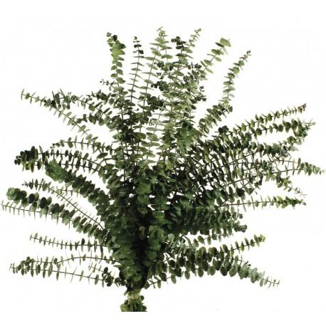 EUCALYPTUS BABY GREEN 60 - 75CM