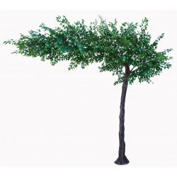Canopy Ficus Tree - Green (3.1m tall)