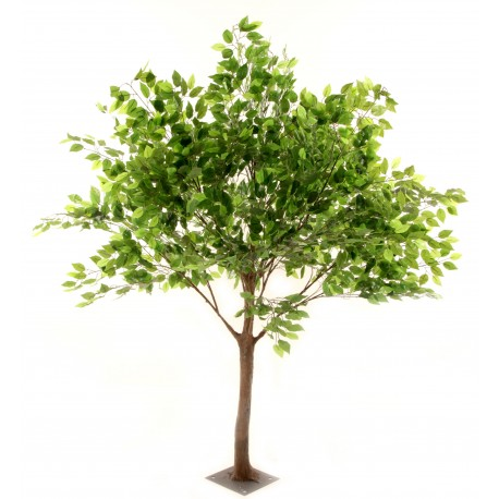 Ficus Tree - Green (1.8m tall)