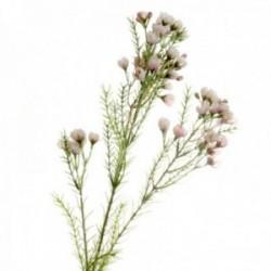 Wax Flower Spray - Light Pink (77cm long)