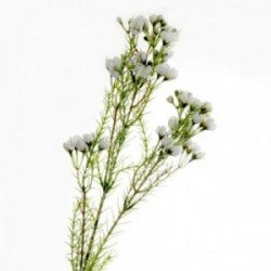 Wax Flower Spray - White (77cm long)
