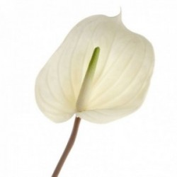 Real Touch Anthurium - Cream (76cm long)