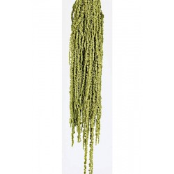 Preserved Amaranthus Caudatus - Light Green (150g)