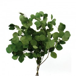 Preserved Populus Eucalyptus - Green (150g per pack, 60cm tall)