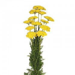 Preserved Achillea Filipendulina - Natural (100g)