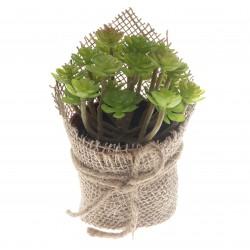 Potted Sedum Clavatum Succulent - Green (14cm Long)