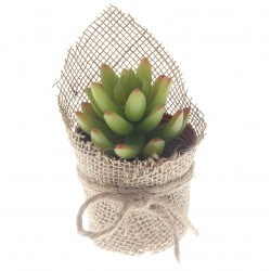 Potted Live Forever Succulent - Green (14cm long)