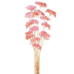 Achillea Filipendulina - Light Pink (100g)