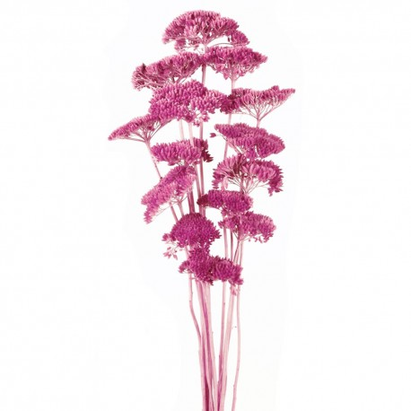Achillea Filipendulina - Purple (100g)
