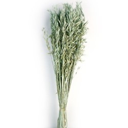 Avena Sativa - Dusty Green (80cm tall, 200g)
