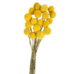 Craspedia - Natural (50cm tall, 20pcs per pk)