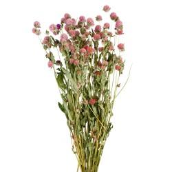 Gomphrena - Pink (70cm tall)