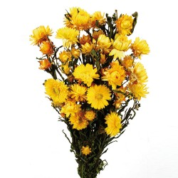 Helichrysum - Yellow (50cm tall)