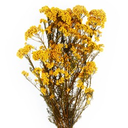 Preserved Rice Flower - Yellow (60cm tall, 100g)