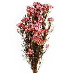 Preserved Rice Flower - Light Pink (60cm tall, 100g)