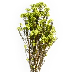 Preserved Rice Flower - Lime Green (60cm tall, 100g)