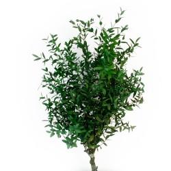 Preserved Eucalyptus Parvifolia - Green (150g per pk)