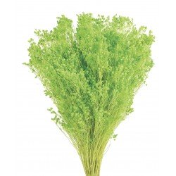Preserved Broom Blooms - Lime Green (100g)