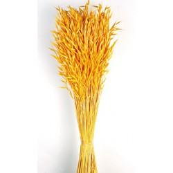 Avena Sativa - Yellow (80cm tall, 200g)