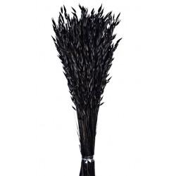 Avena Sativa - Black (80cm tall, 200g)