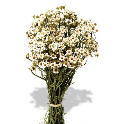 Dried Daisy (Oxodia) Bunch - Natural (30cm tall)